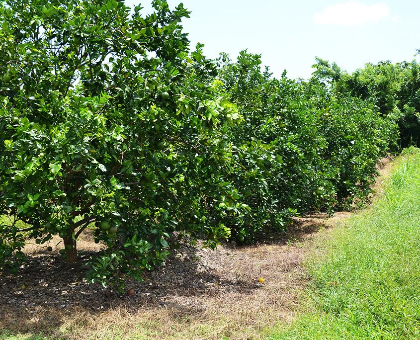 citricultura ecológica