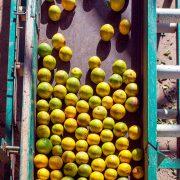 Los cítricos en Honduras demuestran ser uno de los negocios más rentables