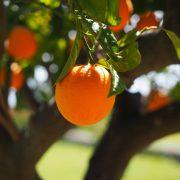 Importancia de la citricultura en el crecimiento productivo de Honduras