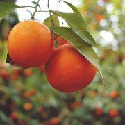 producción orgánica de cítricos una estrategia de cultivo viable